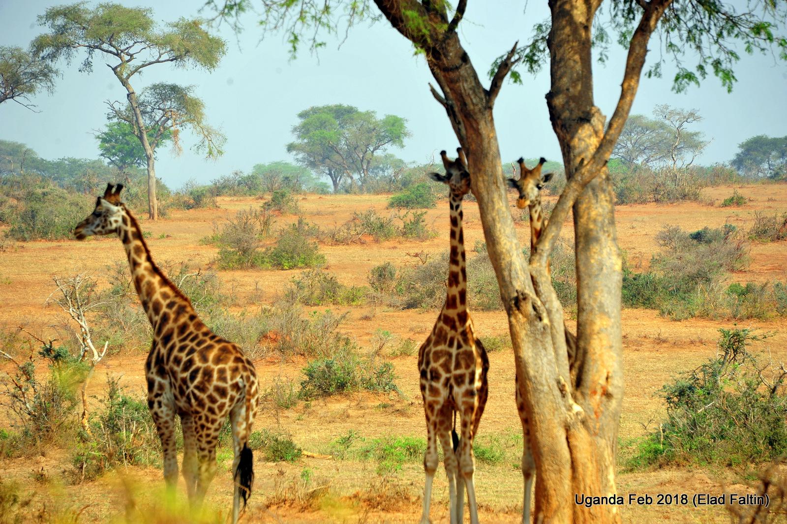 ג'ירפות - אוגנדה אפריקה