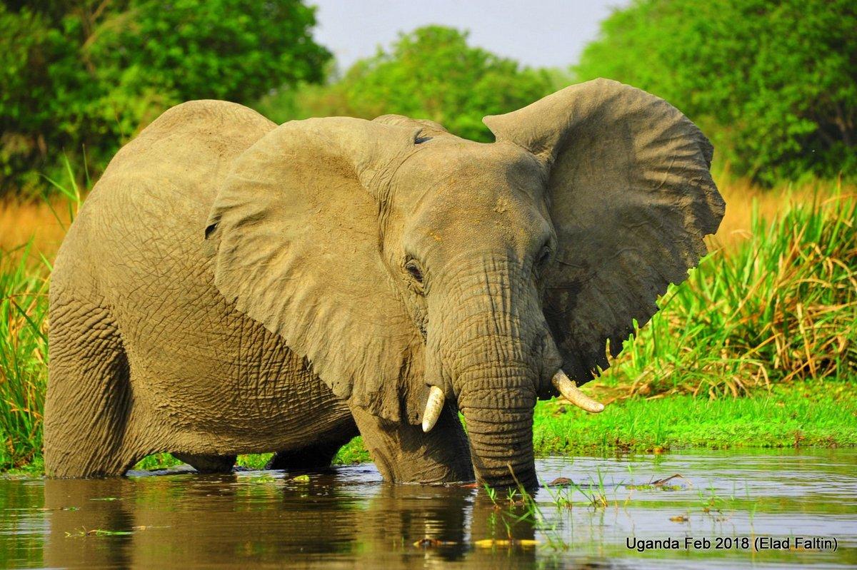 פיל אפריקאי